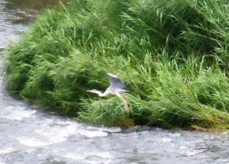 嬉野川の鷺2(2013-06-30)