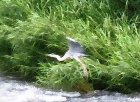 嬉野川の鷺3(2013-06-30)