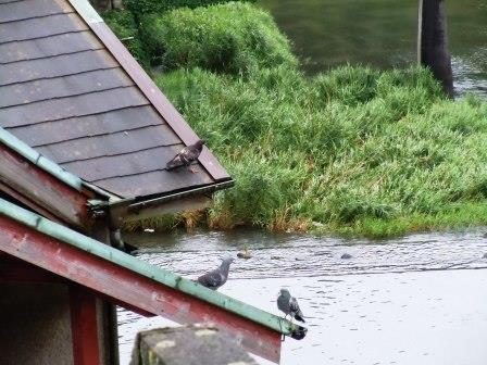 嬉野川の鳥たち1(2013-06-30)