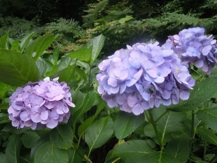 紫陽花1(2013-07-05)