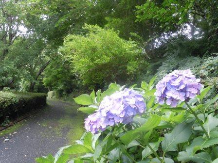 歴史民俗資料館の紫陽花(2013-07-05)