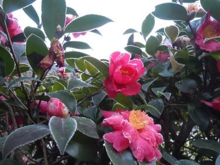 山茶花5(2014-01-23)
