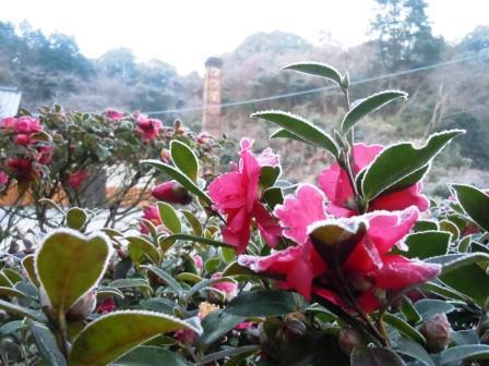 山茶花と煙突1(2014-01-23)