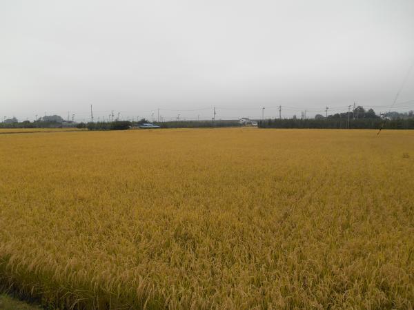 金色の田んぼ