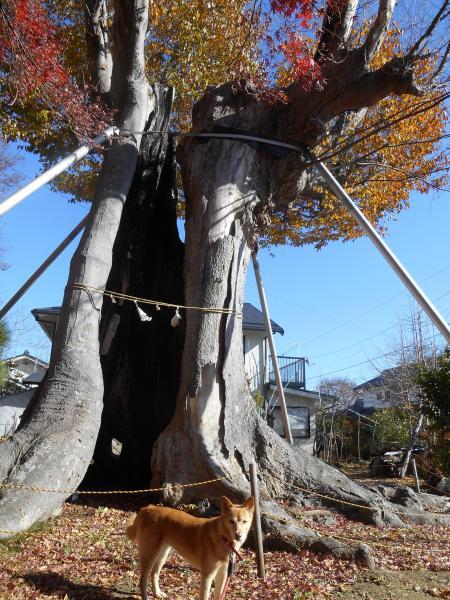 弁天大きな木