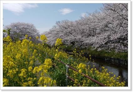 2013sakura3.jpg