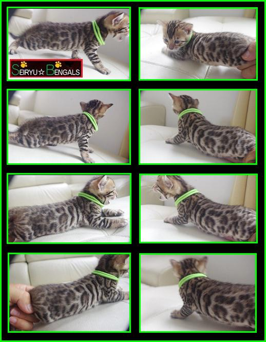 2013 CAS Kitten Green Boy 1