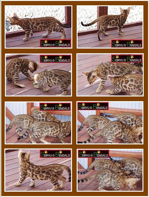 CAS Kitten 7