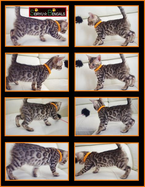 LAHAINA Kitten Orenge 1