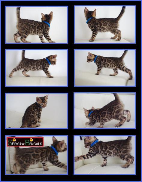 LAHAINA Kitten Blue 1