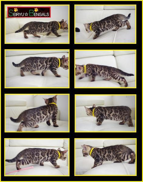 LAHAINA Kitten Yerrow1
