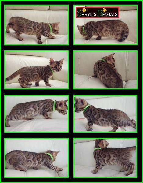 LAHAINA Kitten Green 1