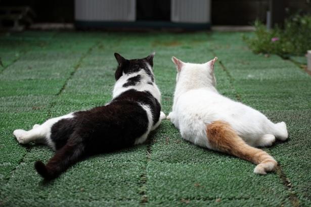シンメトリー猫