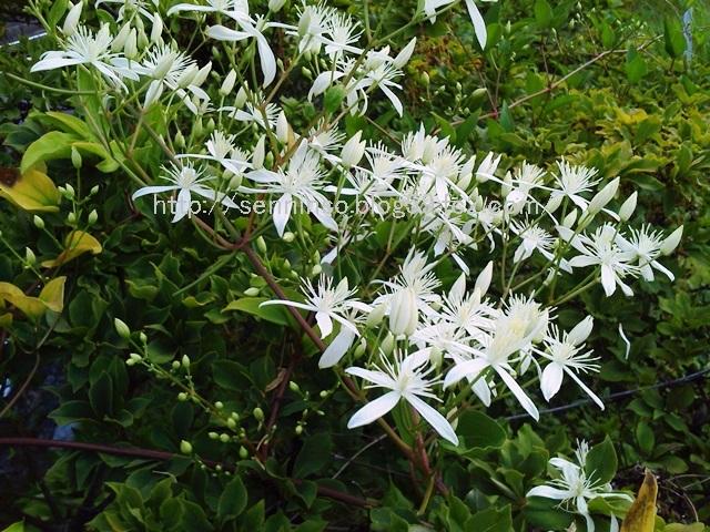 2013仙人草の花2