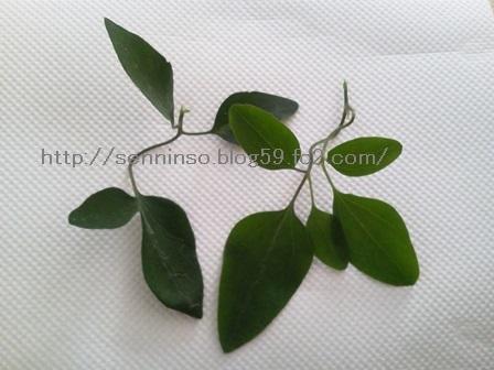 仙人草の葉(まだ小さい)