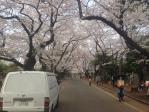 2013年3月28日谷中の桜