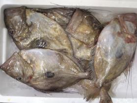 マトウ鯛2013930