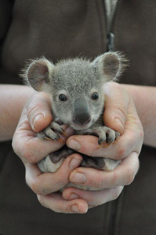 生後5か月の『手のりコアラ』がありえないほどカワイイ|| ^^ |秒刊SUNDAY1