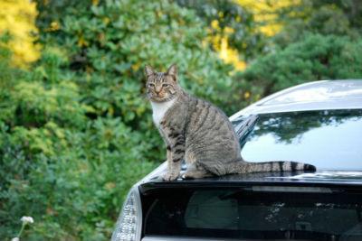 「ネコがエンジンルームに入りたがる季節です」 JAFがドライバーに注意呼びかけ - ねとらぼ