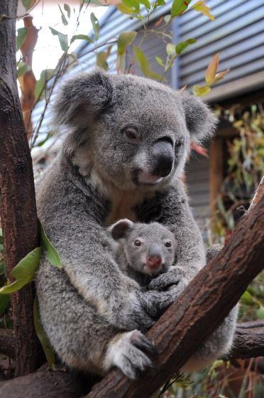 生後5か月の『手のりコアラ』がありえないほどカワイイ|| ^^ |秒刊SUNDAY