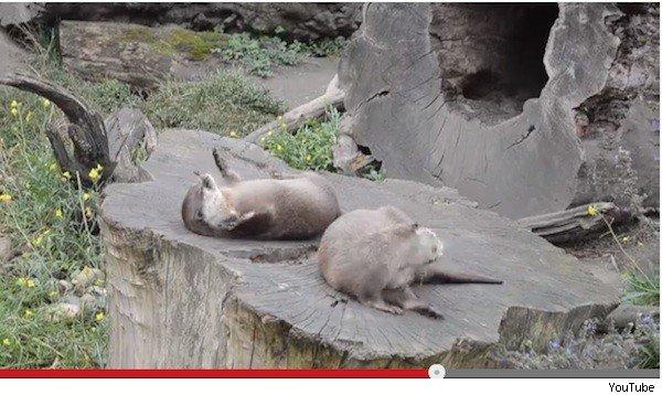【動画】石ころをジャグリングするカワウソが可愛いだけじゃなくスゴい - AOLニュース