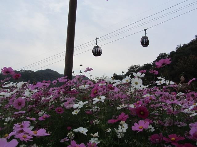 IMG_3604 コスモス