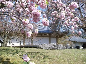 醍醐寺八重桜