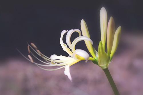 黄色いヒガンバナ。2