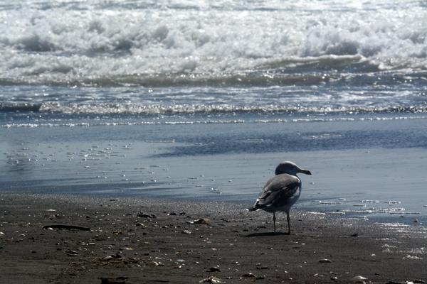 海を見つめるカモメ