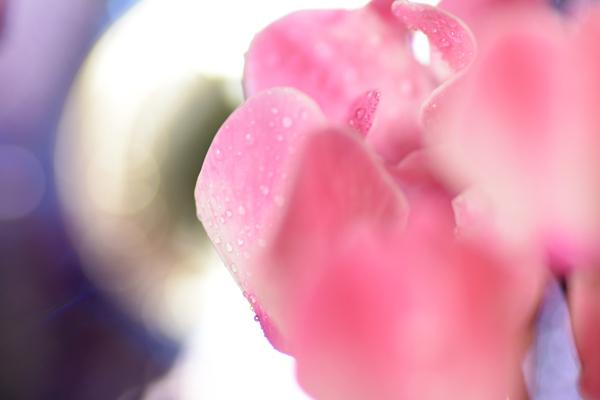シクラメンの花は1