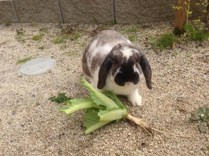 白菜を食べるそら