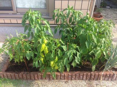 2013年夏の家庭菜園花壇