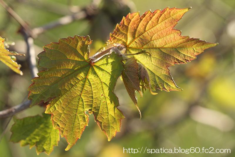 ノブドウの新葉
