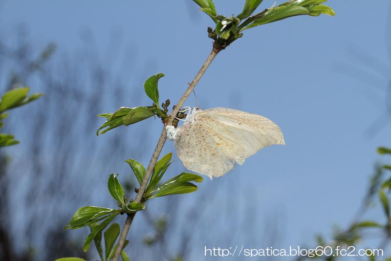 スジボソヤマキチョウの産卵
