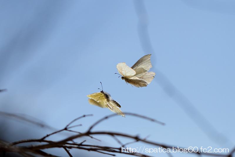 スジボソヤマキチョウ求愛飛翔
