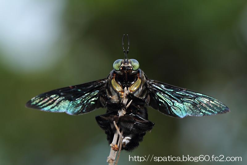 ナンヨウクマバチ