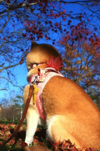今年最後の柴犬と紅葉