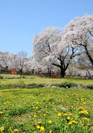 057タンポポと桜