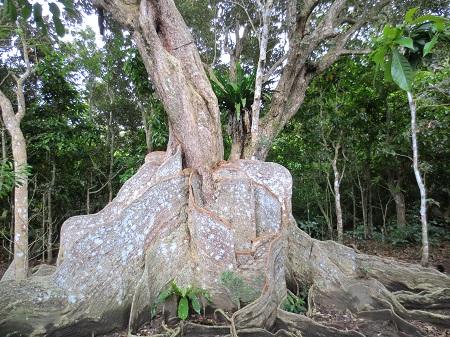 043サキシマスオウの木