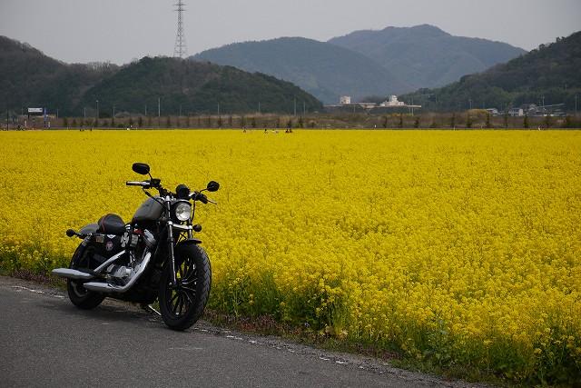 s-13:28笠岡菜の花