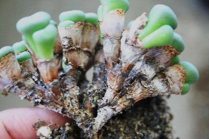 コノフィツム 黄花ウイルヘルミー