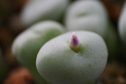 コノフィツム 水滴玉