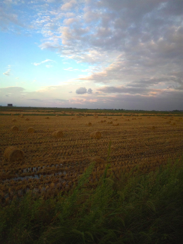 稲藁の干し草ロール