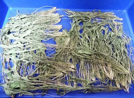 野菜乾燥機プチミニで水菜を乾燥