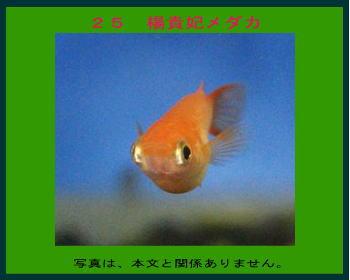 25楊貴妃メダカ