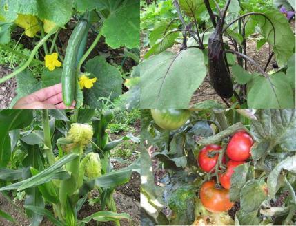 2013年6月30日畑の野菜