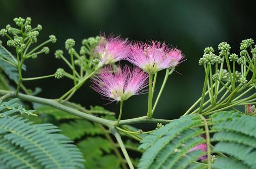 DSC_1531ねむの花
