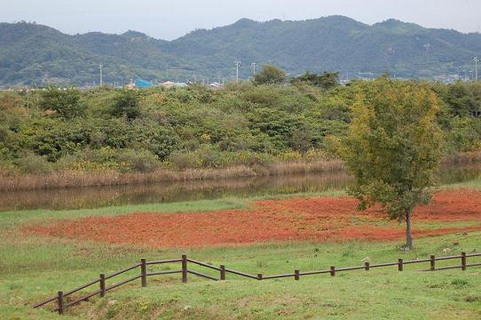 アッケシソウ草紅葉