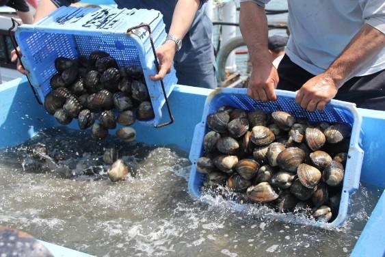 採りたてのホッキ貝