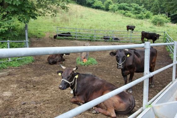 第2パドックの和牛